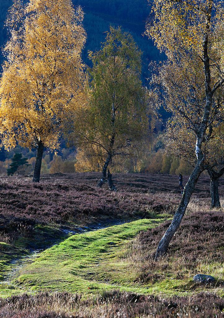 Gold birch road